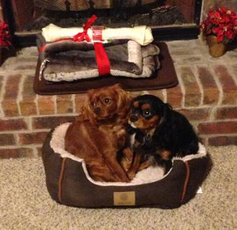 ruby and black and tan cavalier